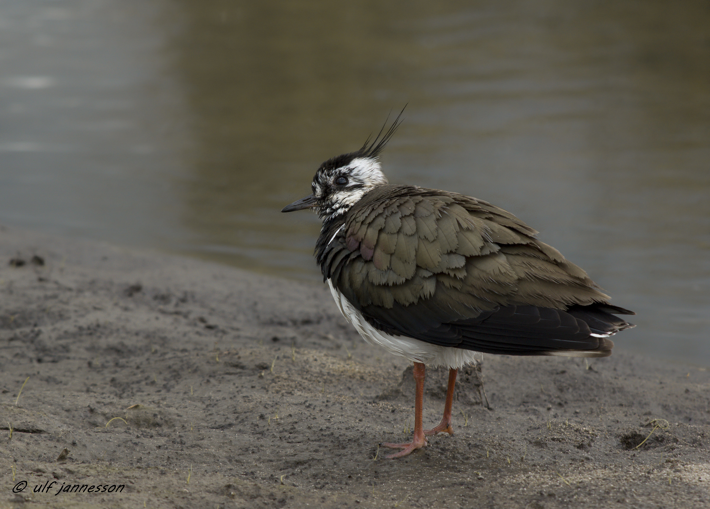 Lapwing. One of the most beautiful birds in Sweden....