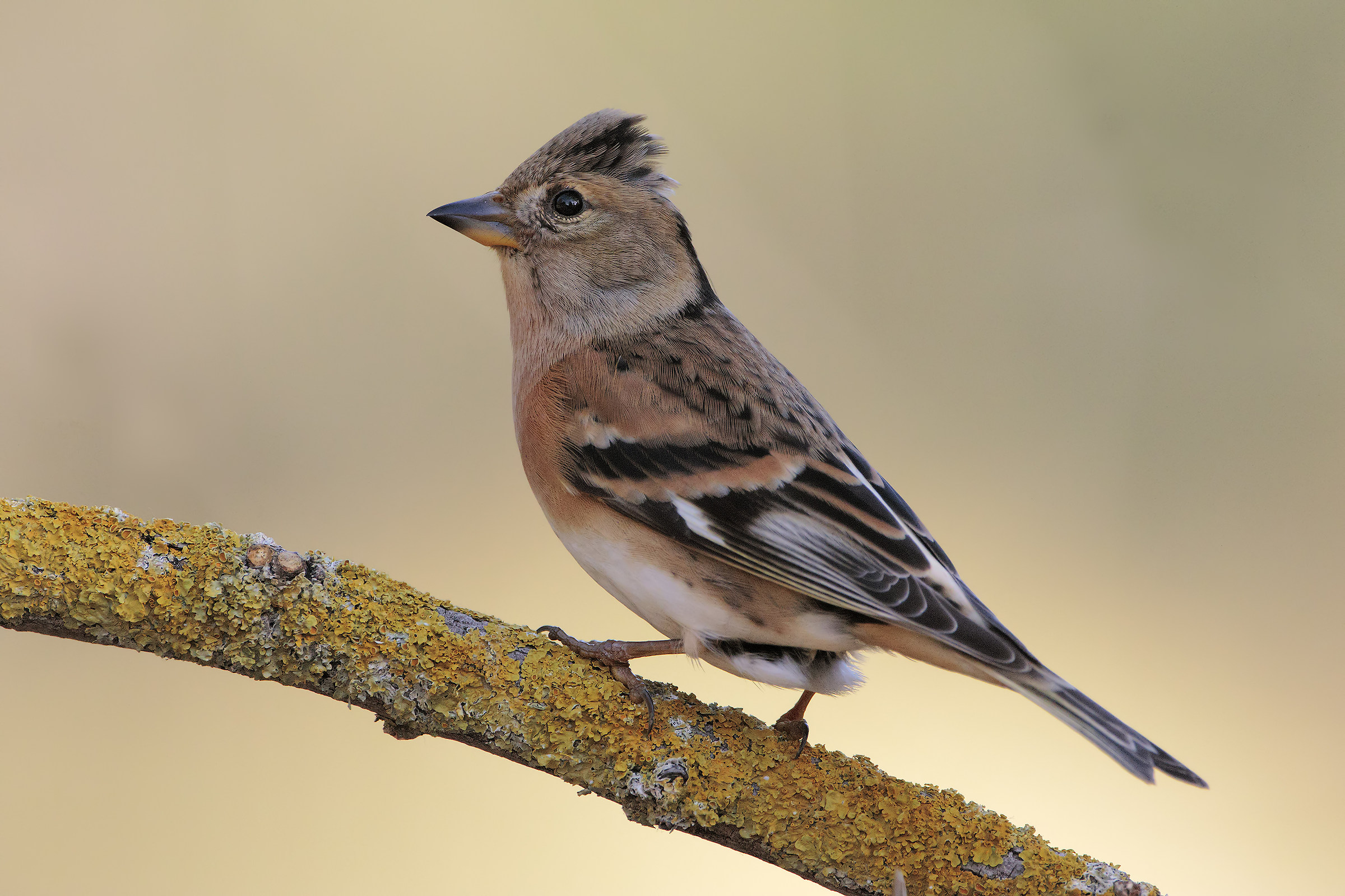 Female Brambling...