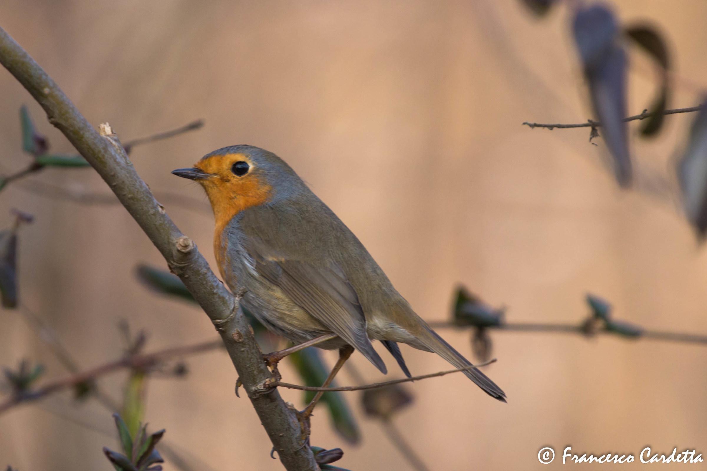 The Robin...