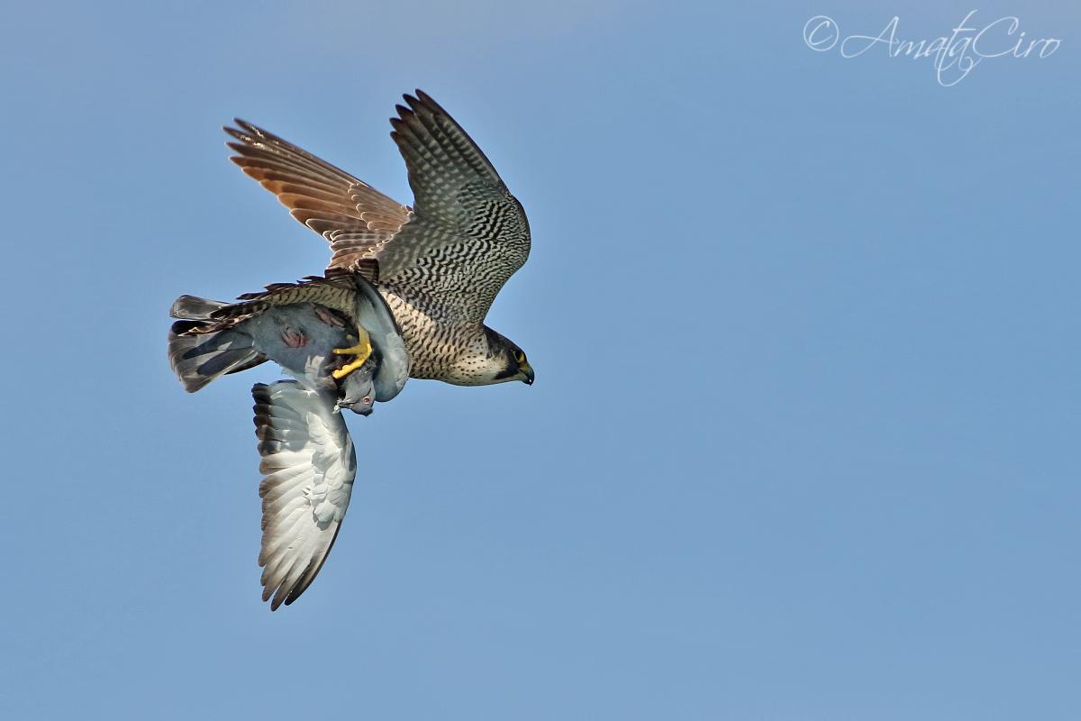 Peregrine Falcon with prey...