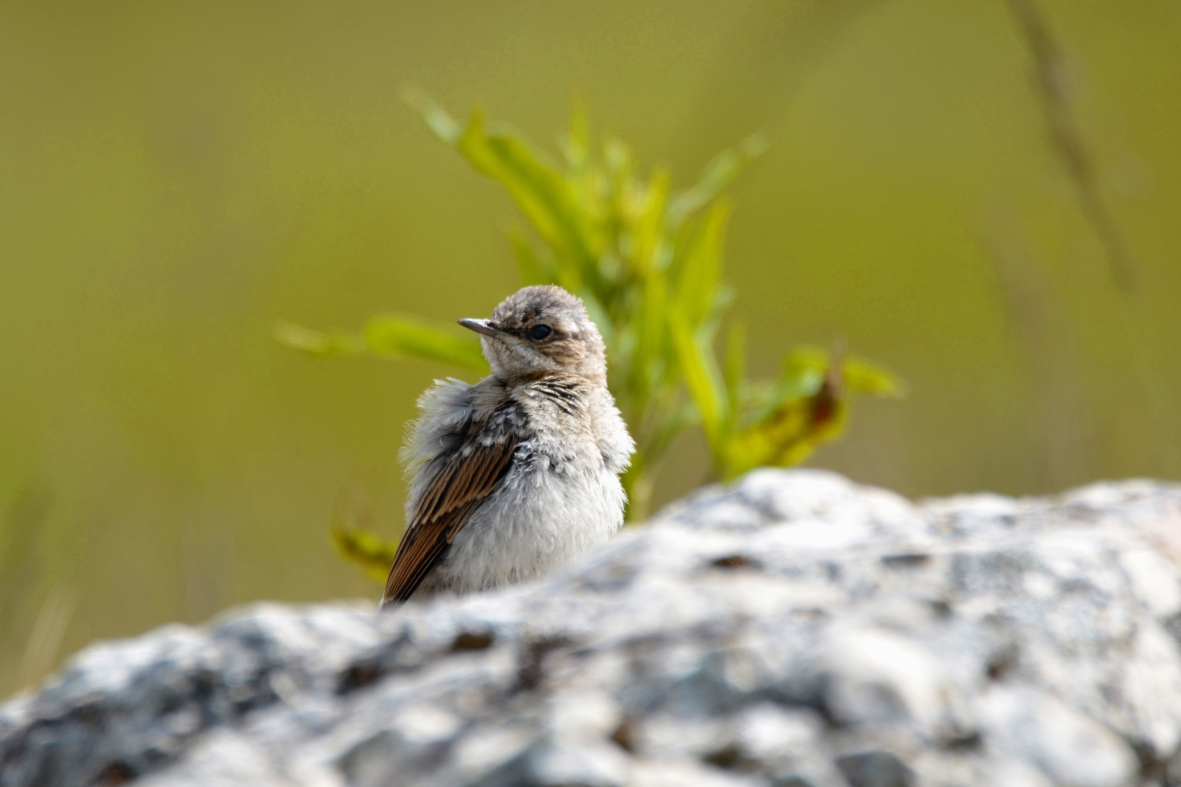 young wheatear...