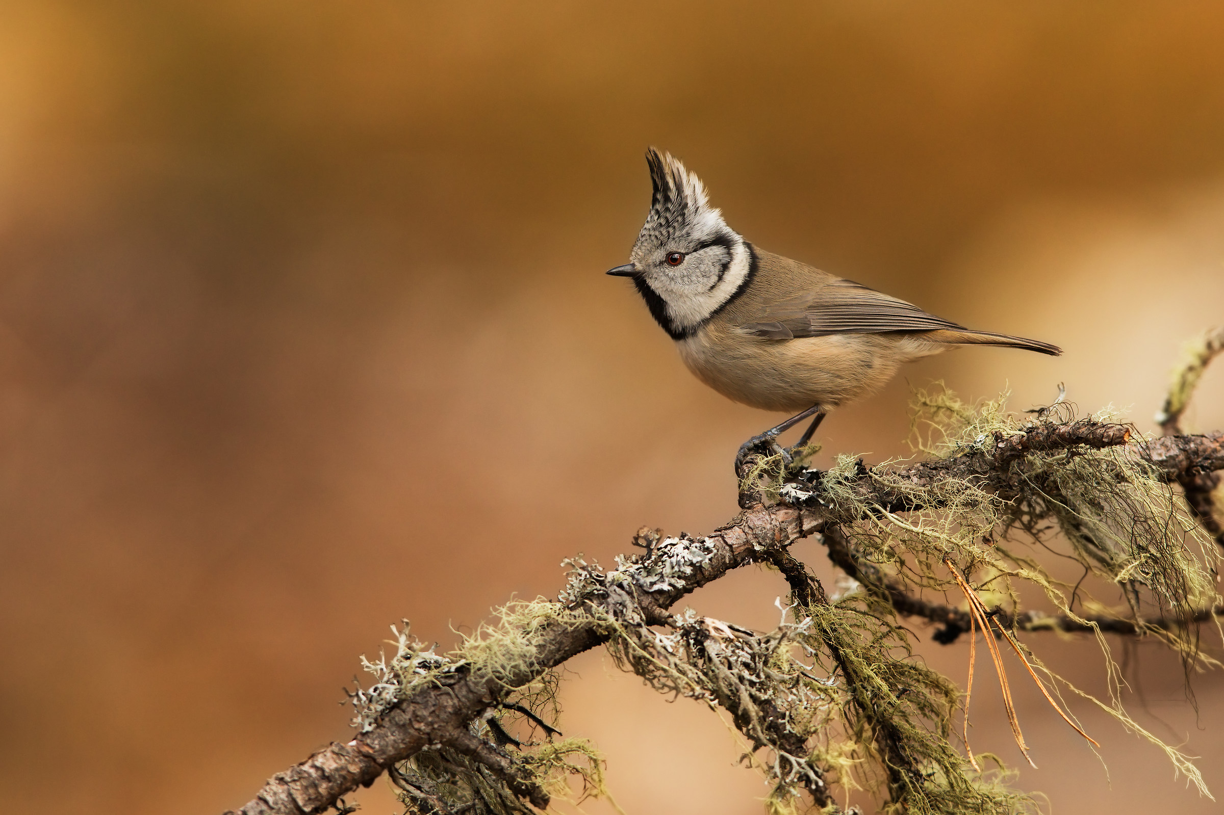 Crested Tit in autumn...