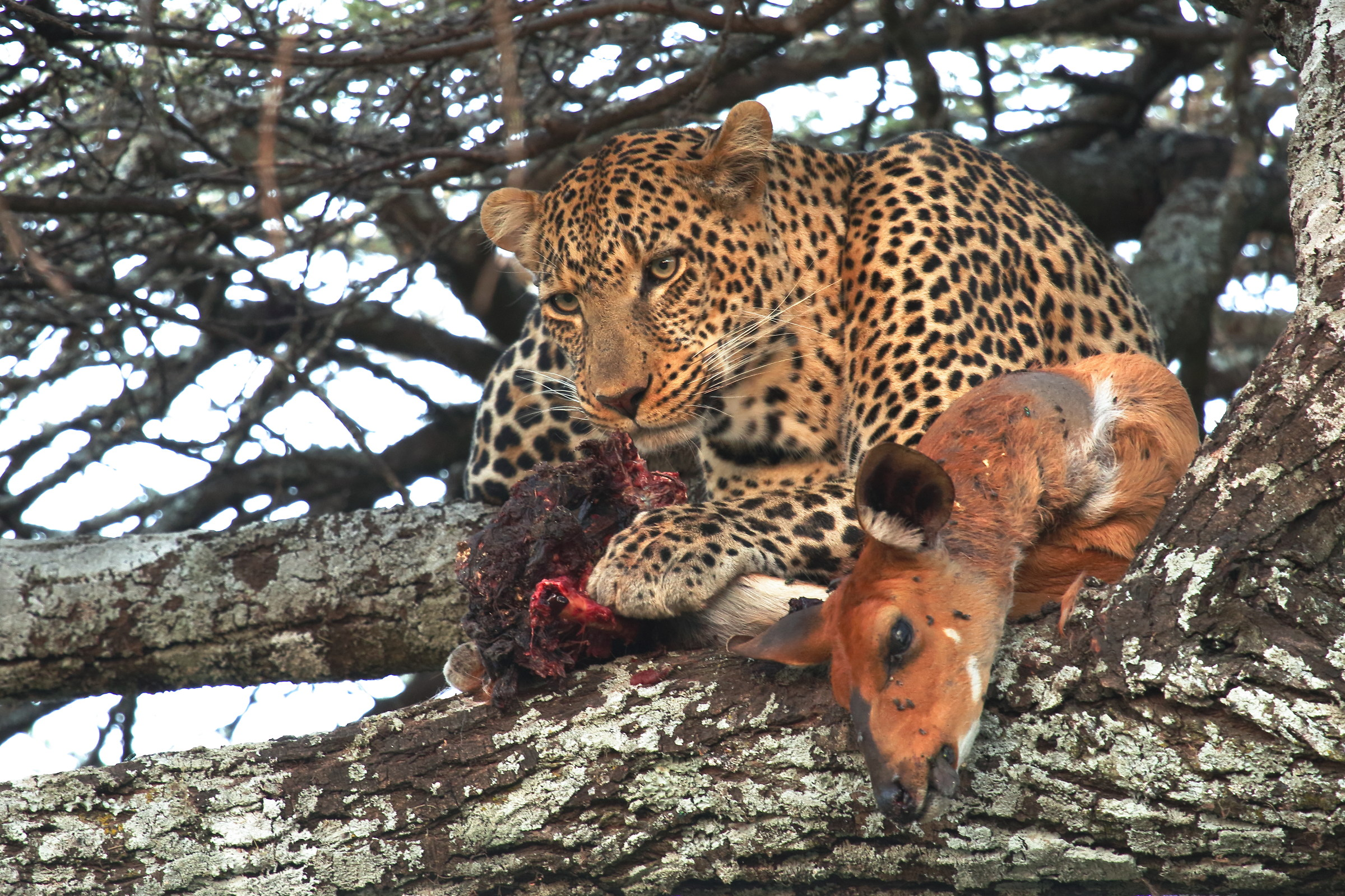 The snack of the Leopard...