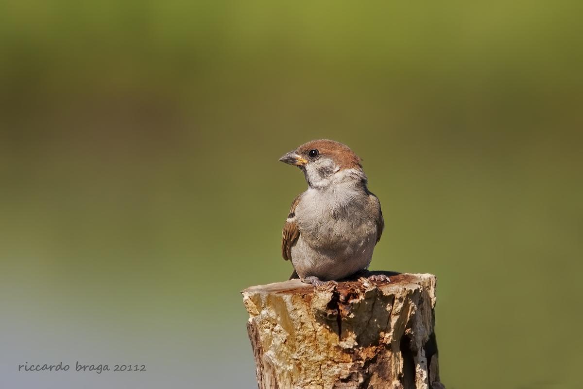 Tree Sparrow...