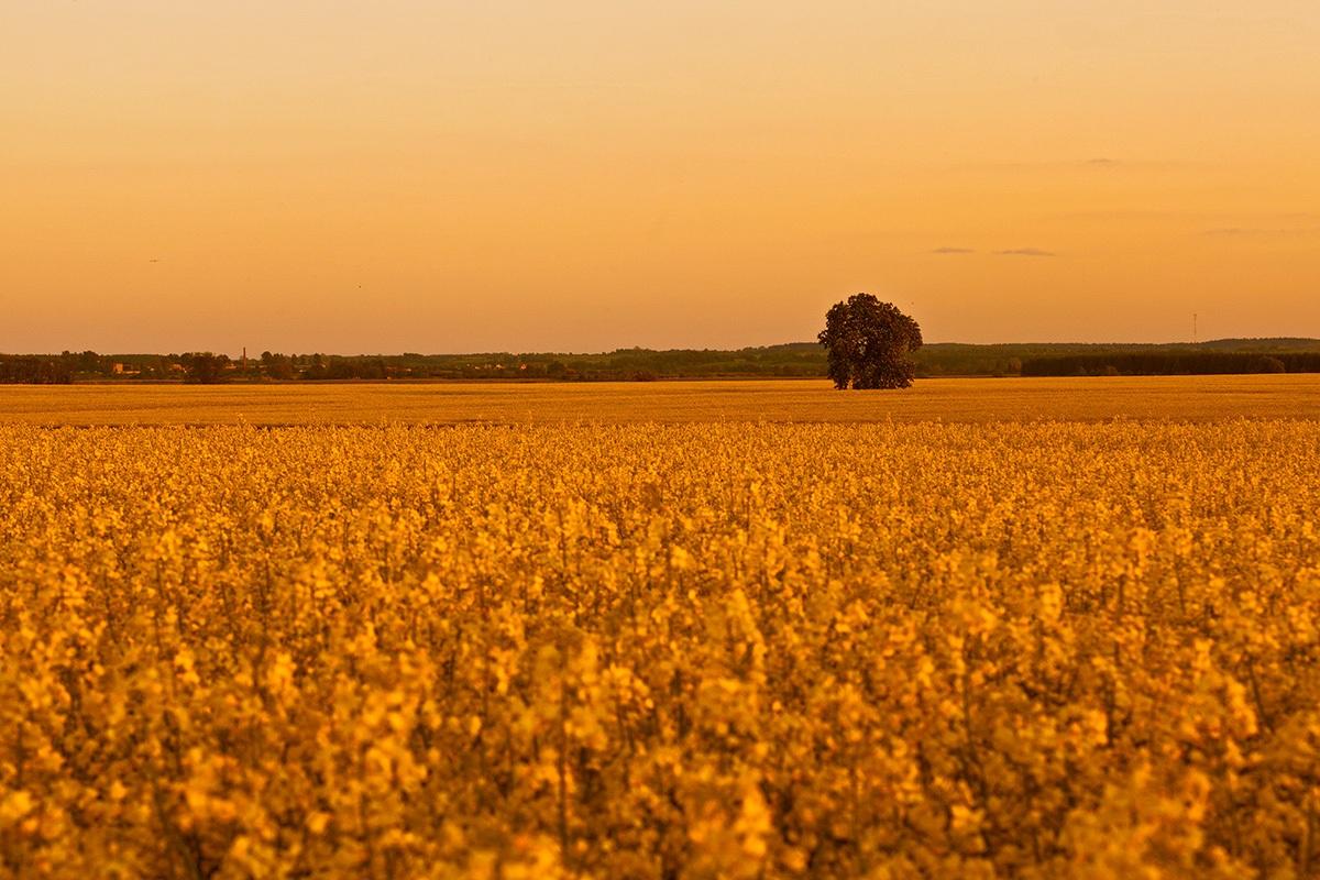 Solitudine verde nel campo giallo ......
