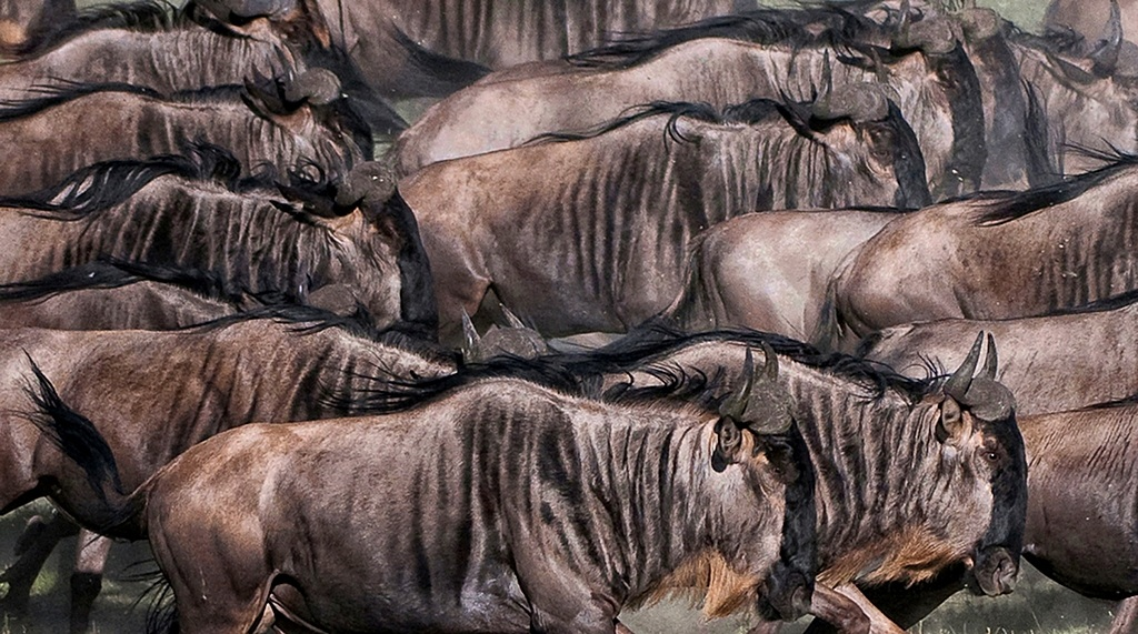 Migration - Tanzania Ndutu...