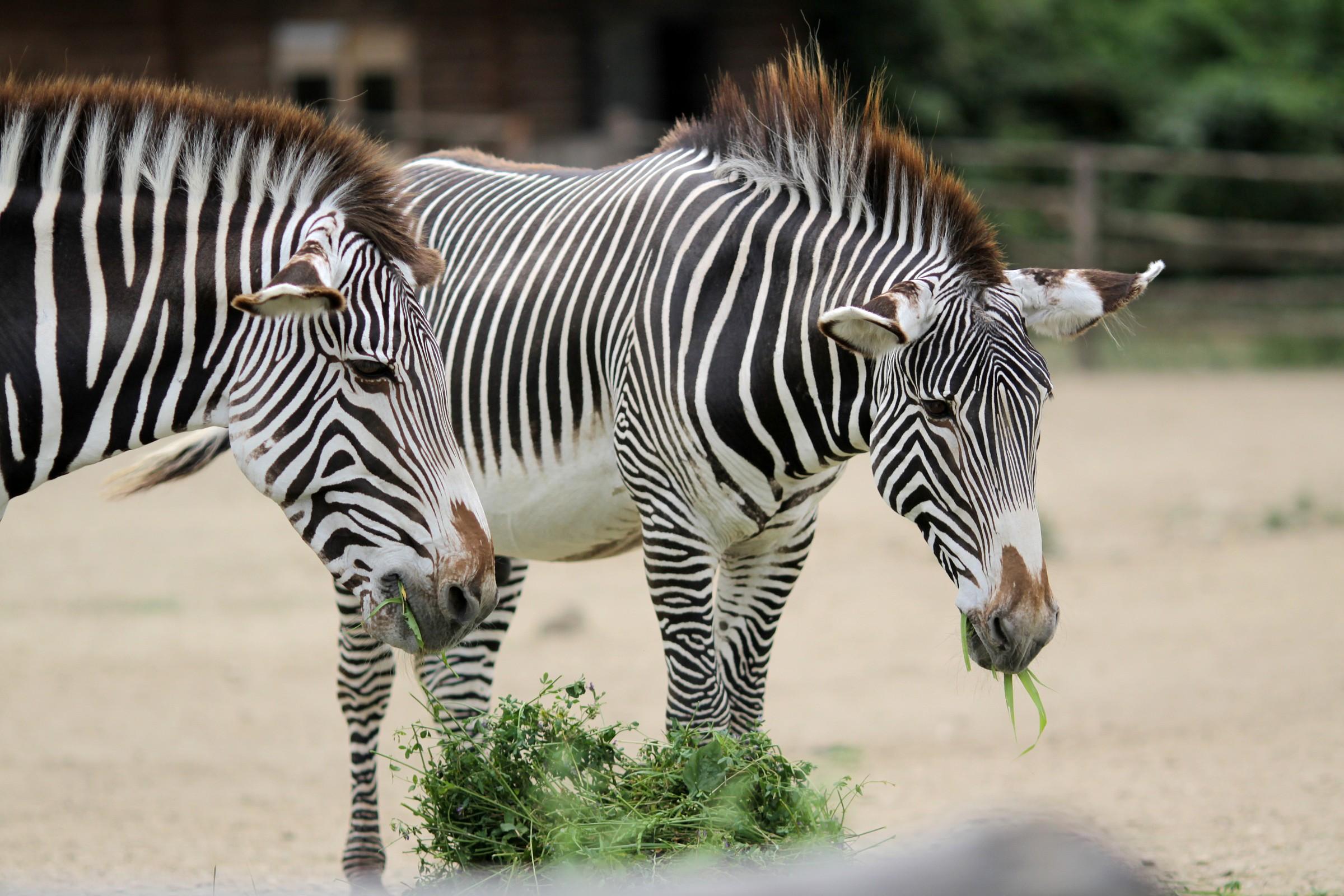 zebras grevy...