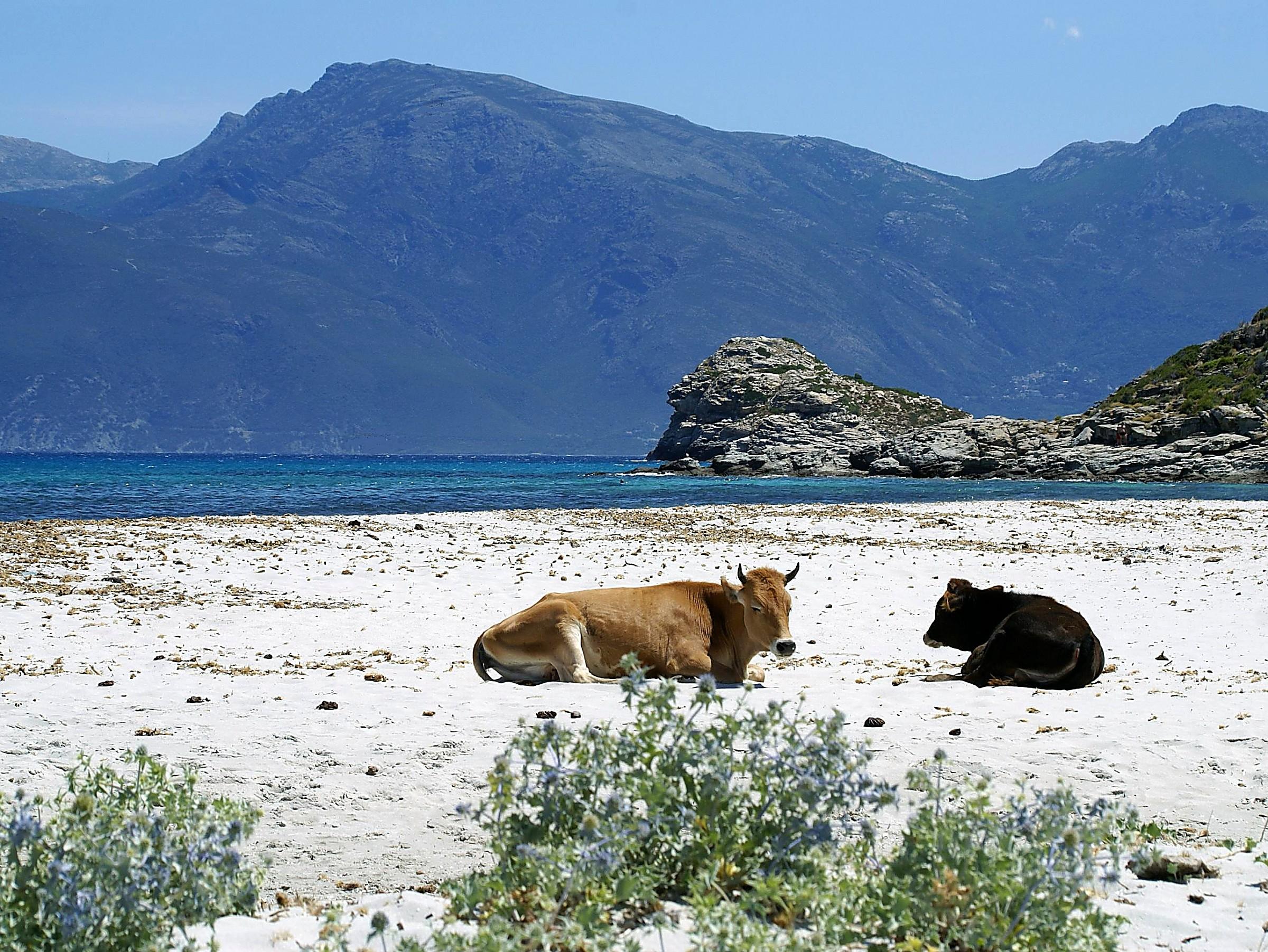 Les vaches de Loto - Corse du nord...