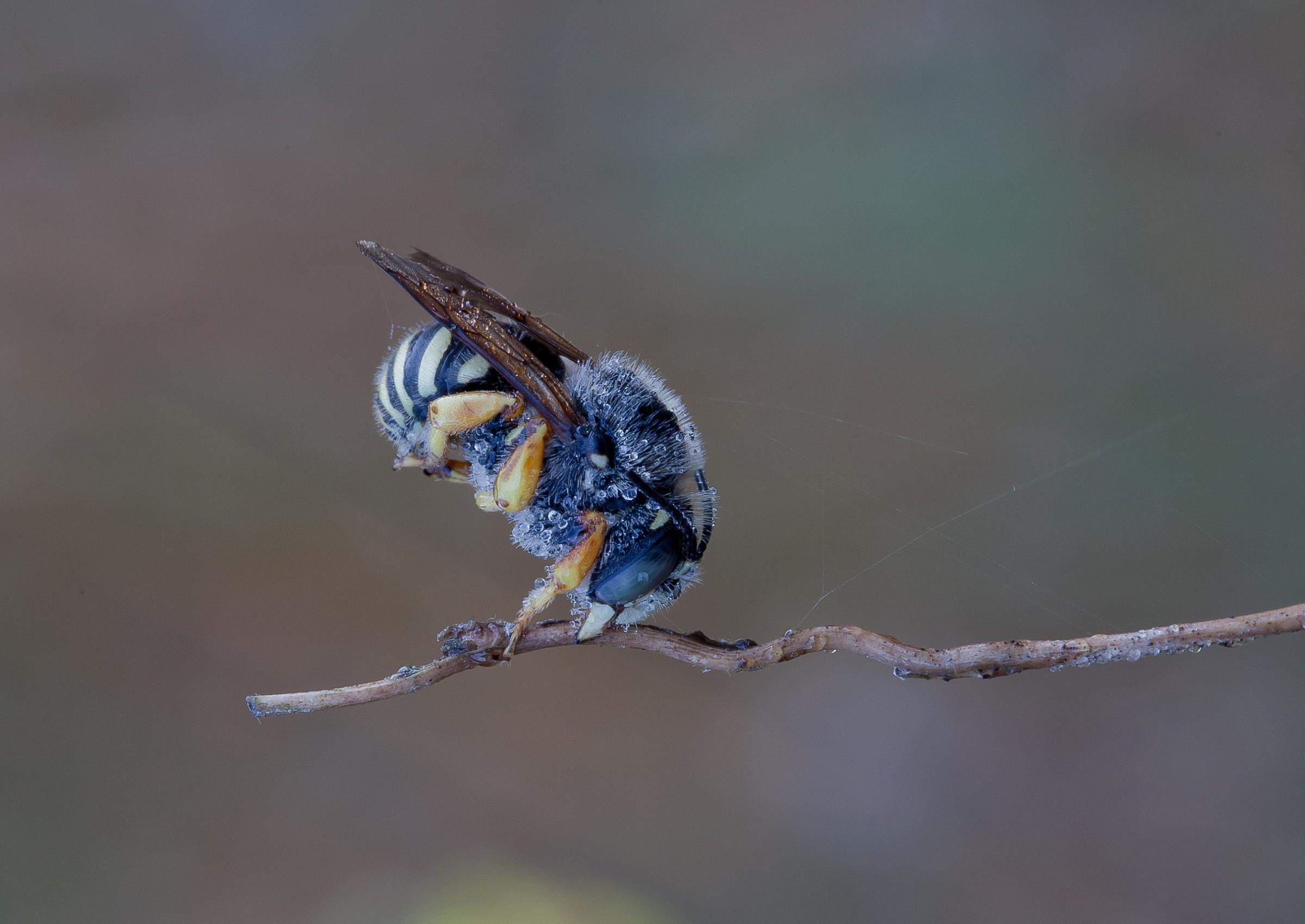 Hymenoptera Megachilidae Anthidiellum...