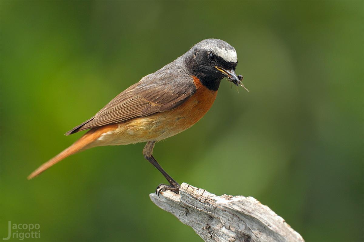 Redstart (Phoenicurus phoenicurus) male...