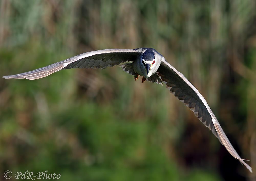 Nitticora in flight...