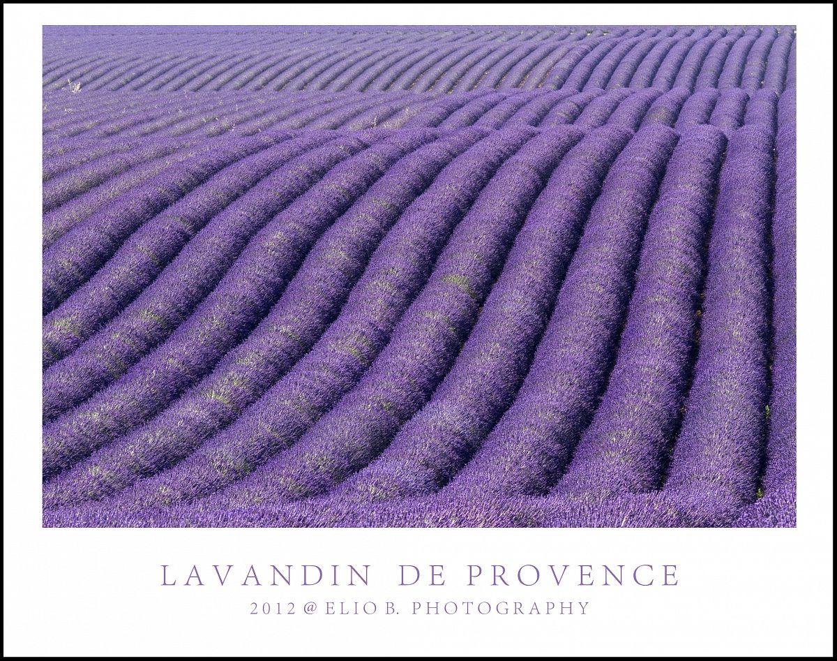 Lavandin de Provence...