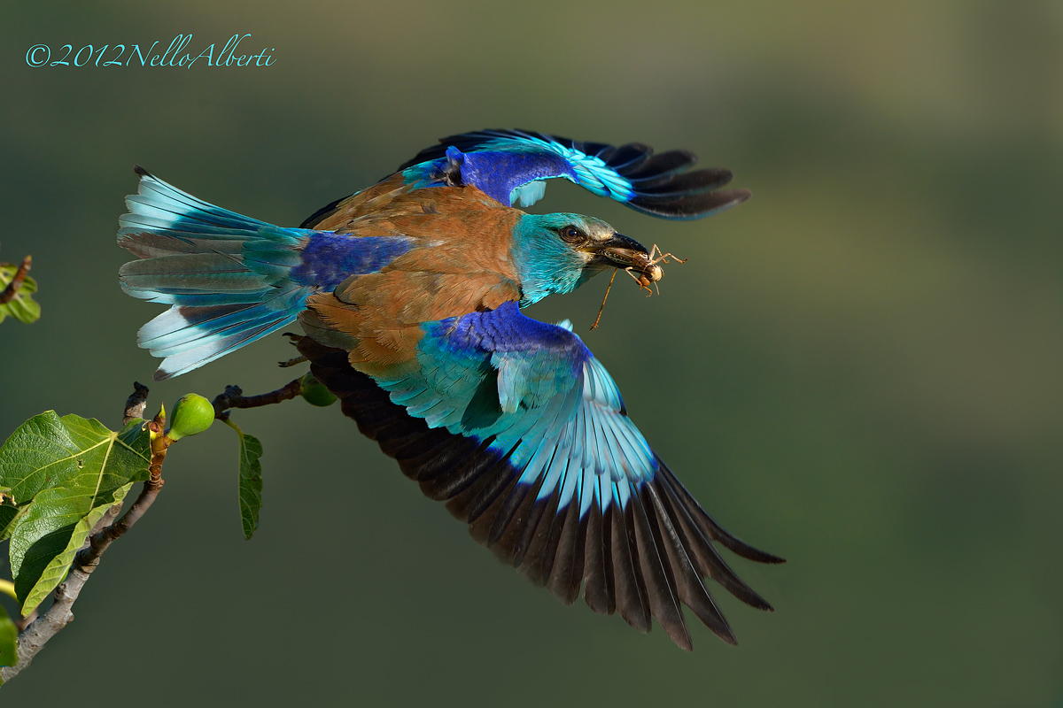 European roller in flight...
