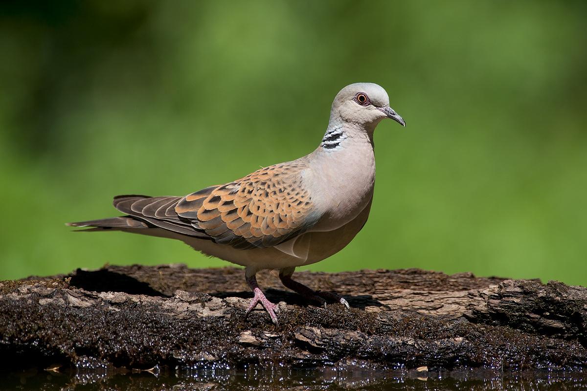 turtle dove...