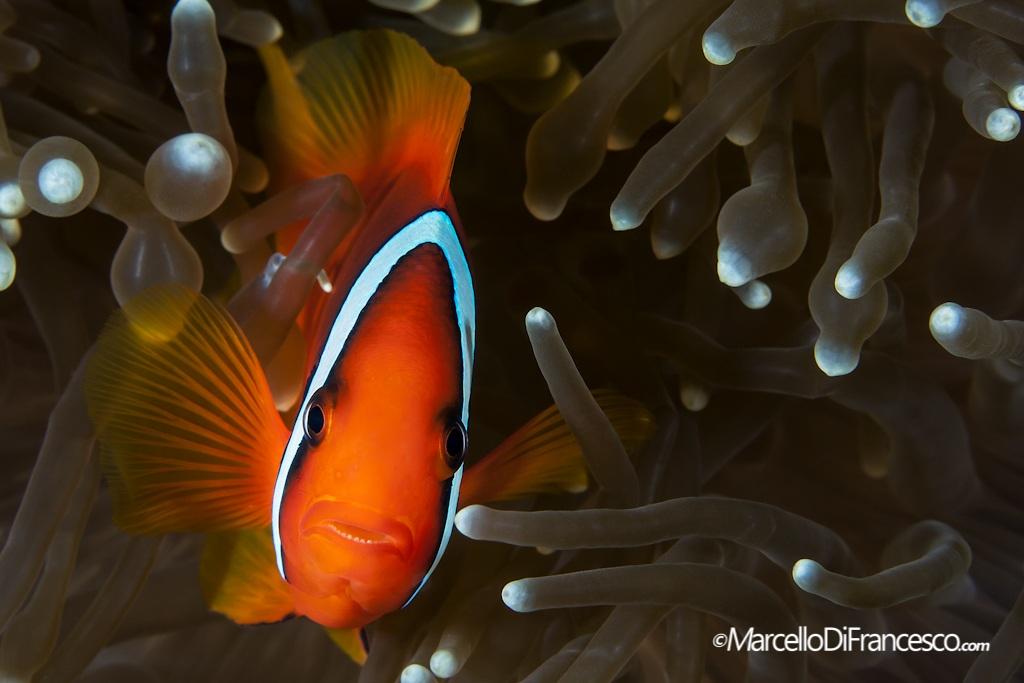 Anemone Fish...
