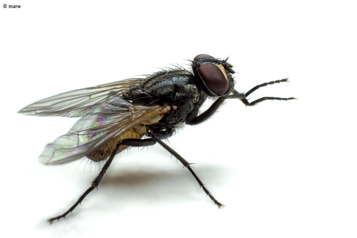 small housefly (Fannia canicularis)...