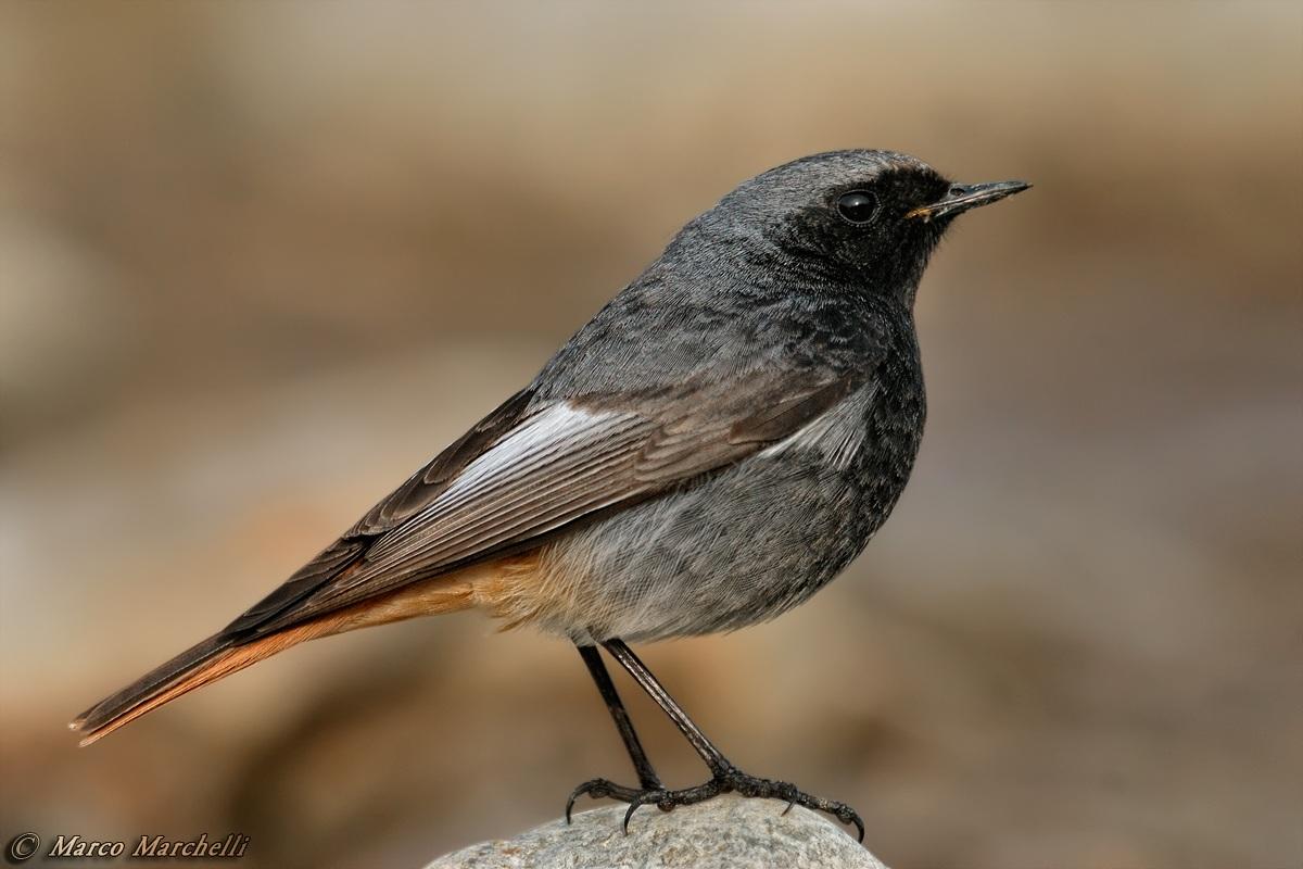 Black Redstart...
