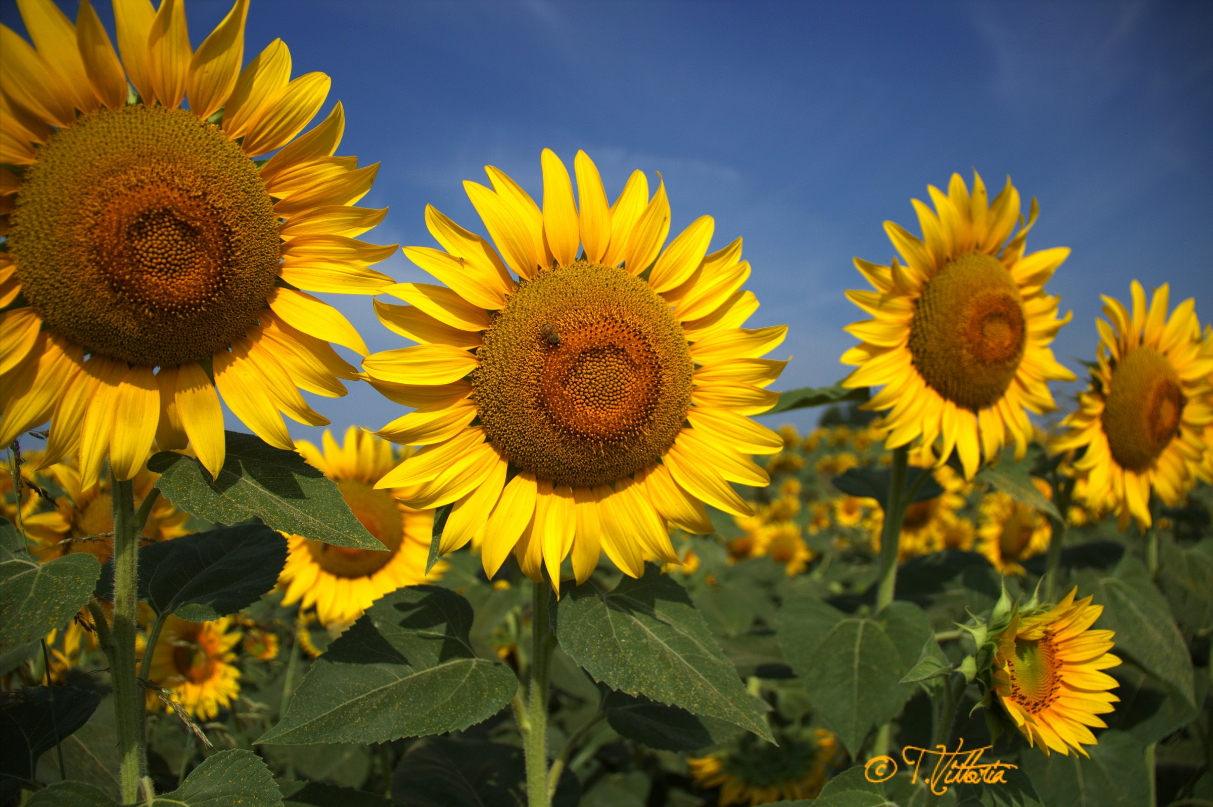 Sunflowers in a row...