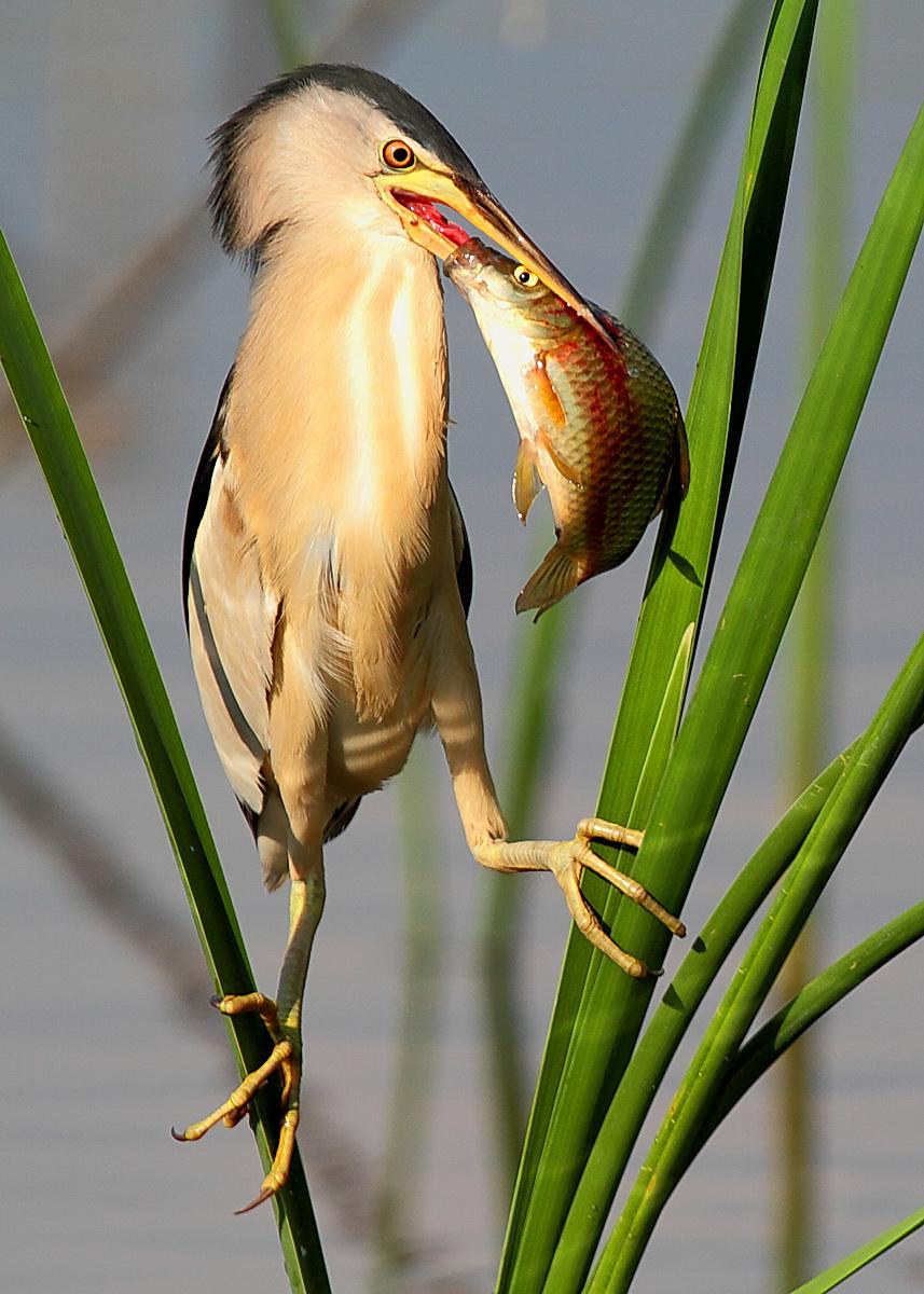 bittern male with prey...