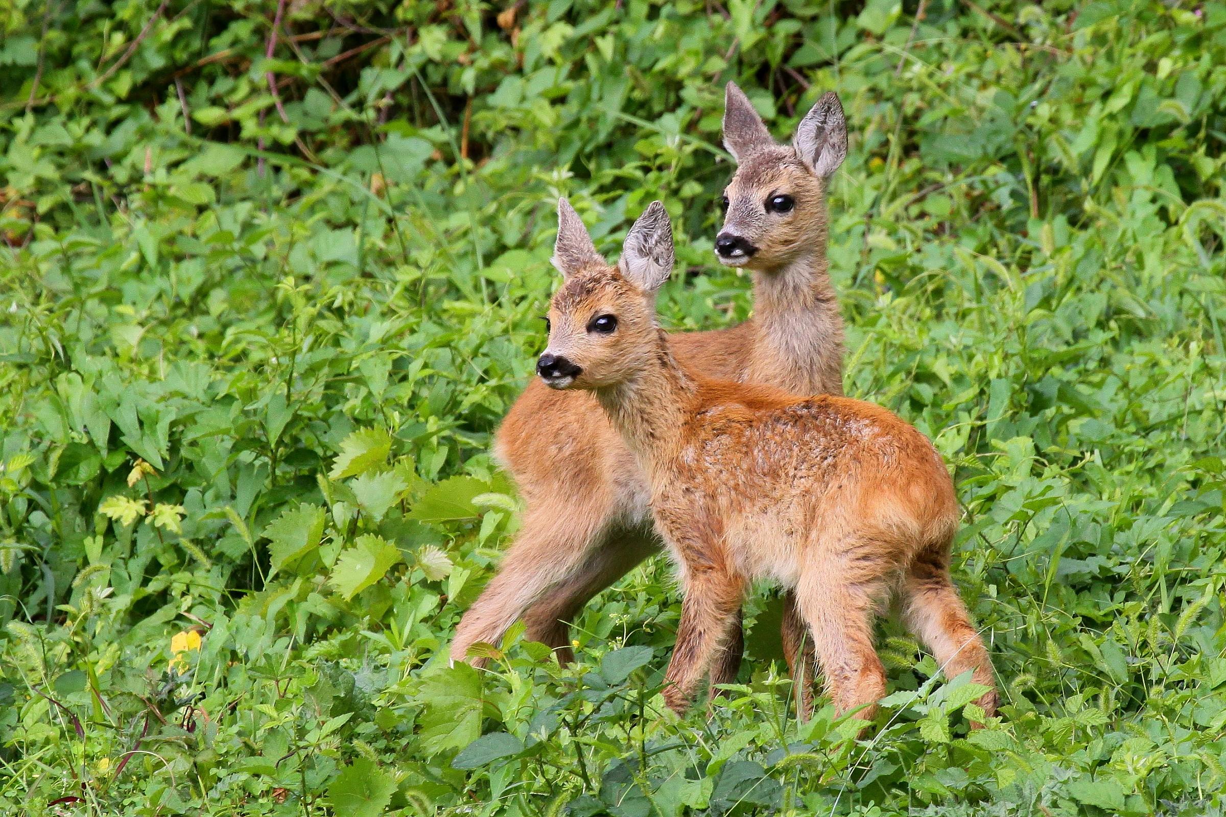 Young deer...