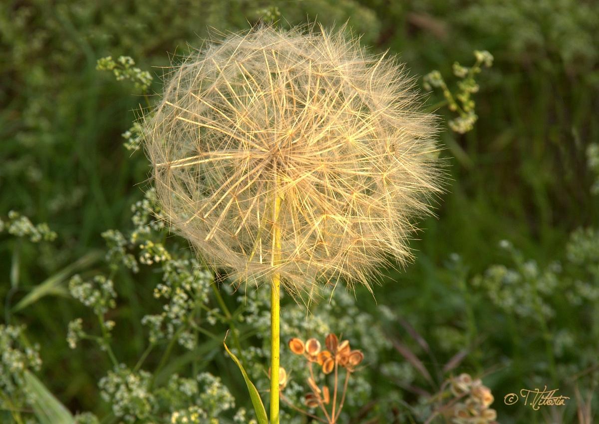 Dandelion flower (or head)...