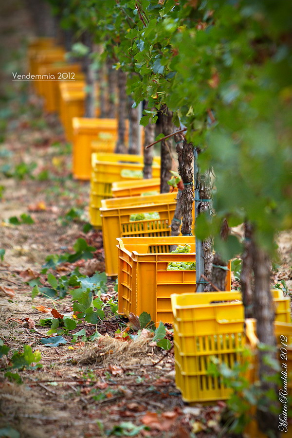 Harvest 2012 in Franciacorta...