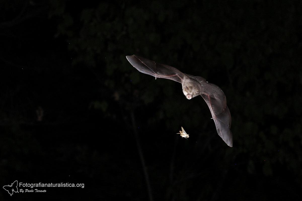 hunting bat...