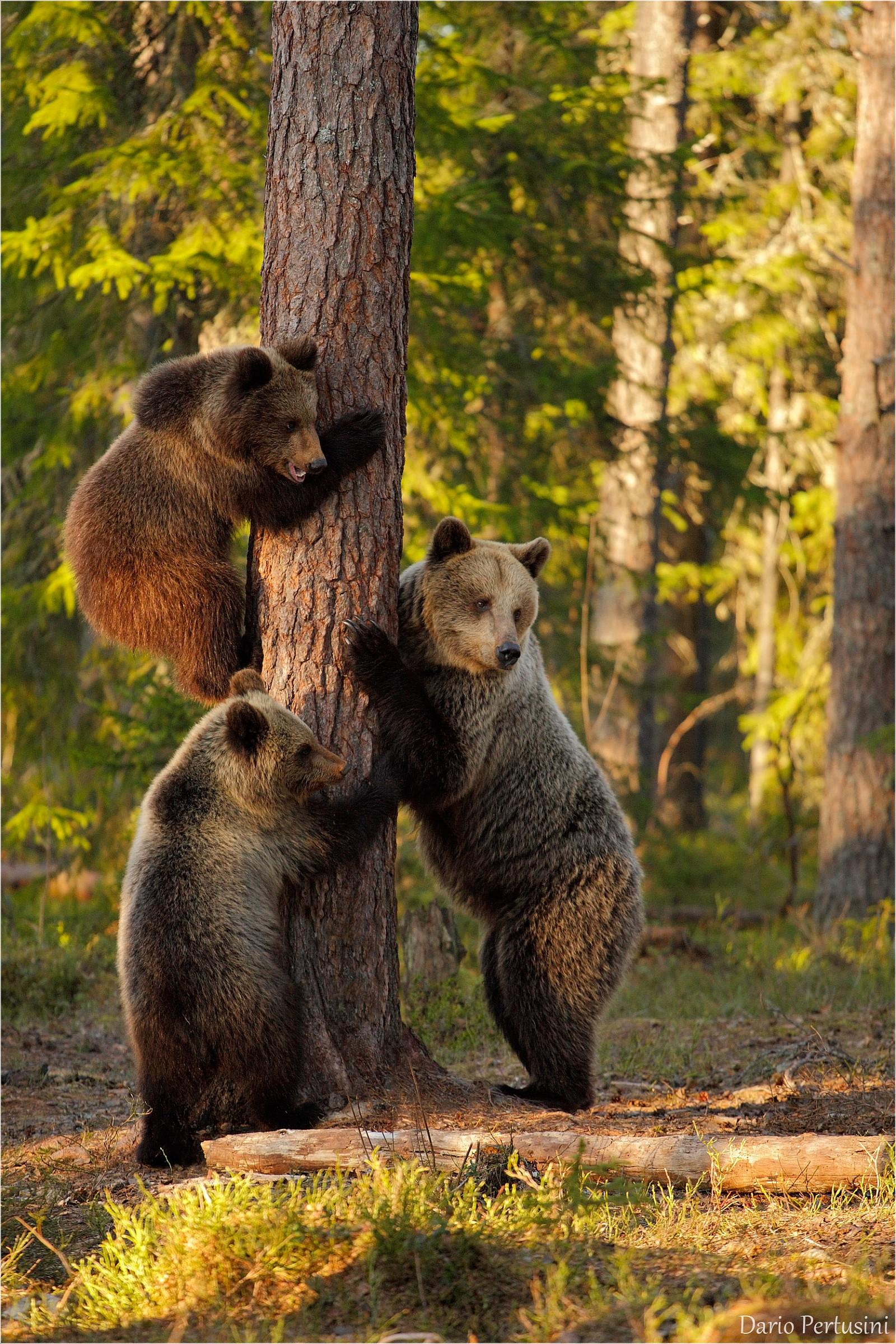 Mama bear with cubs ......