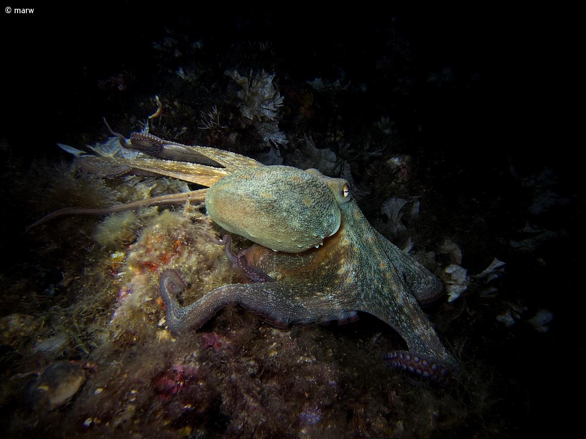 Octopus vulgaris (octopus)...