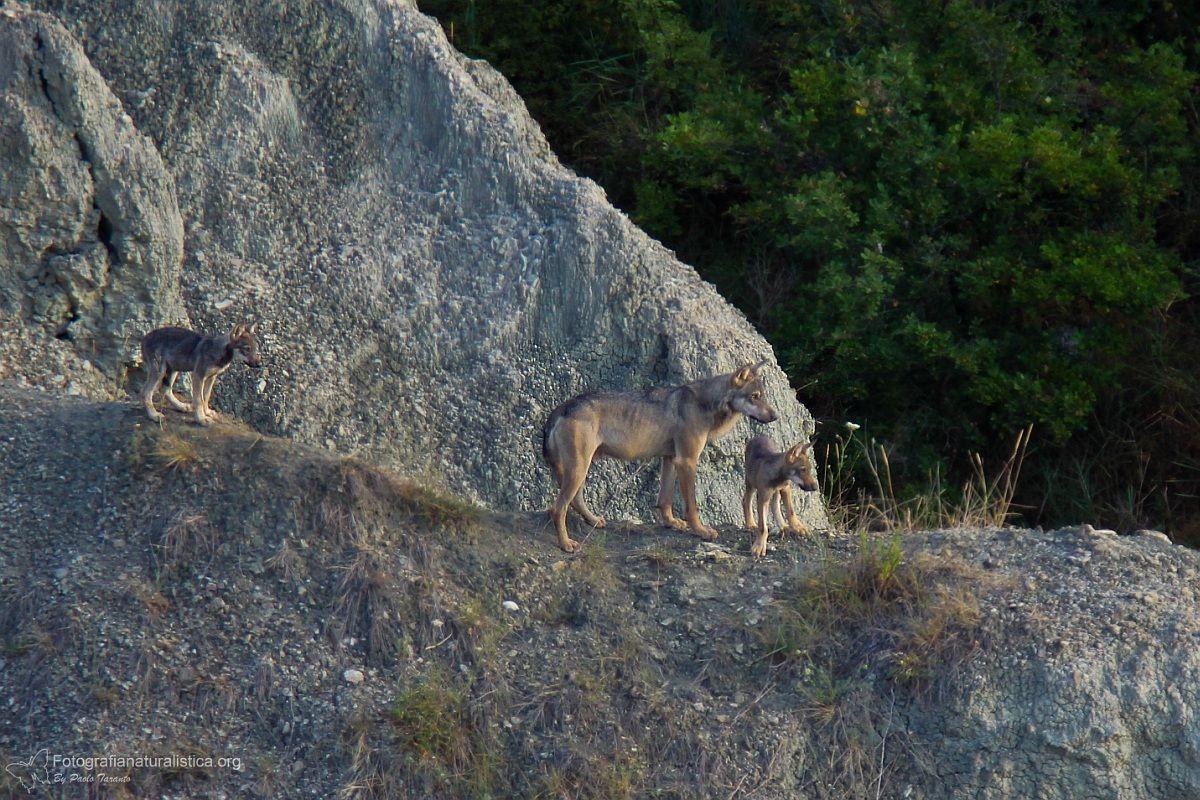 Papàlupo e cuccioli (Lupo appenninico - Canis lupus)...