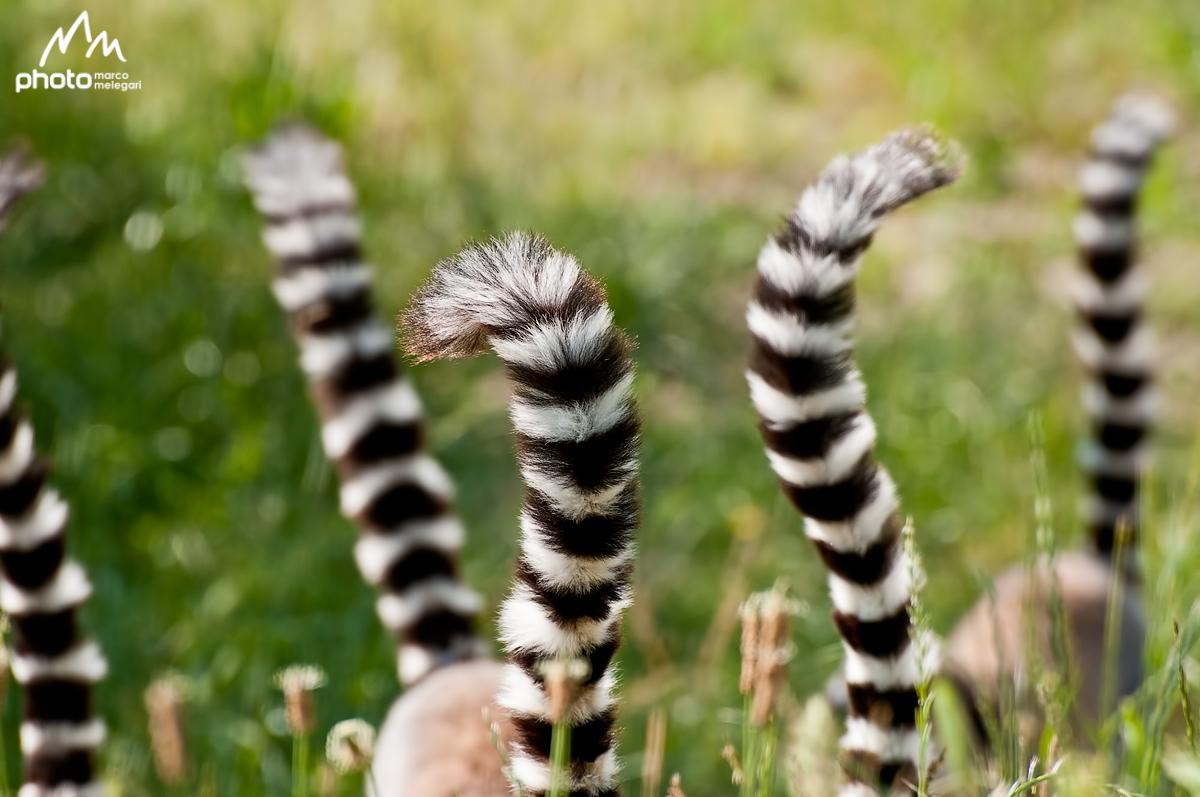 Lemur Catta...