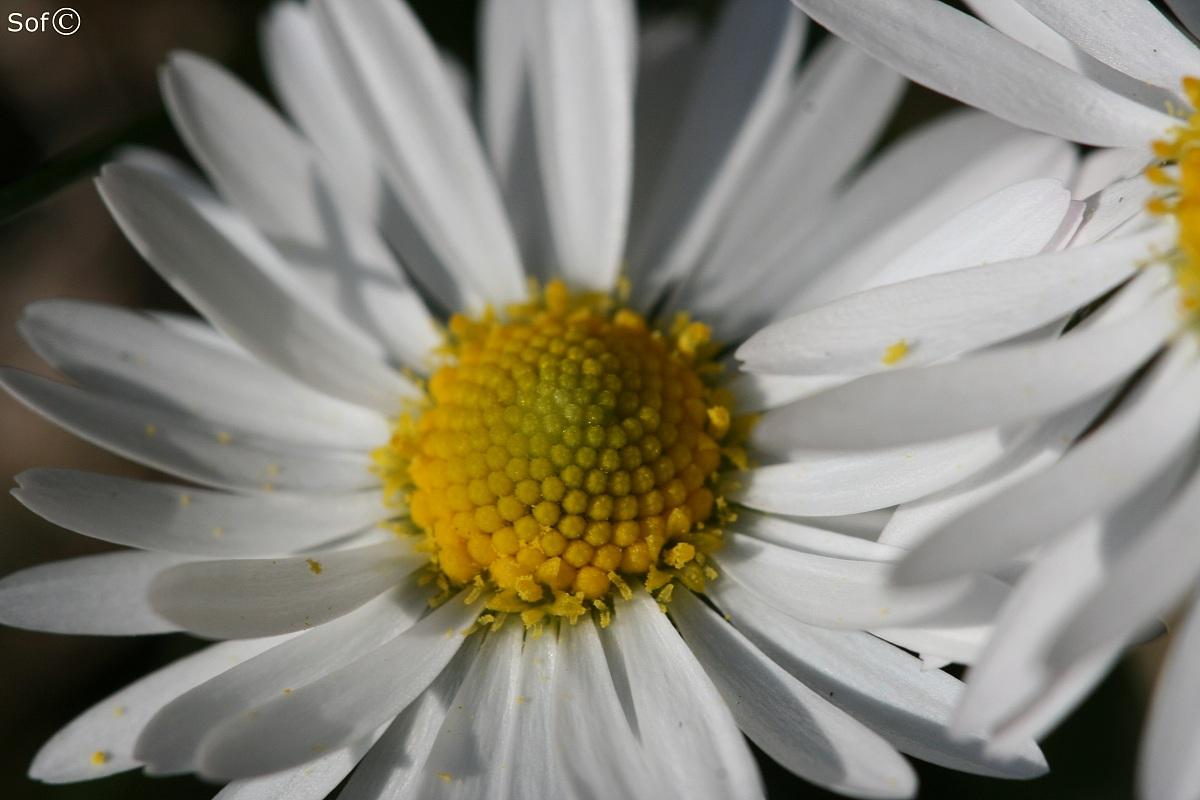 Daisy I...