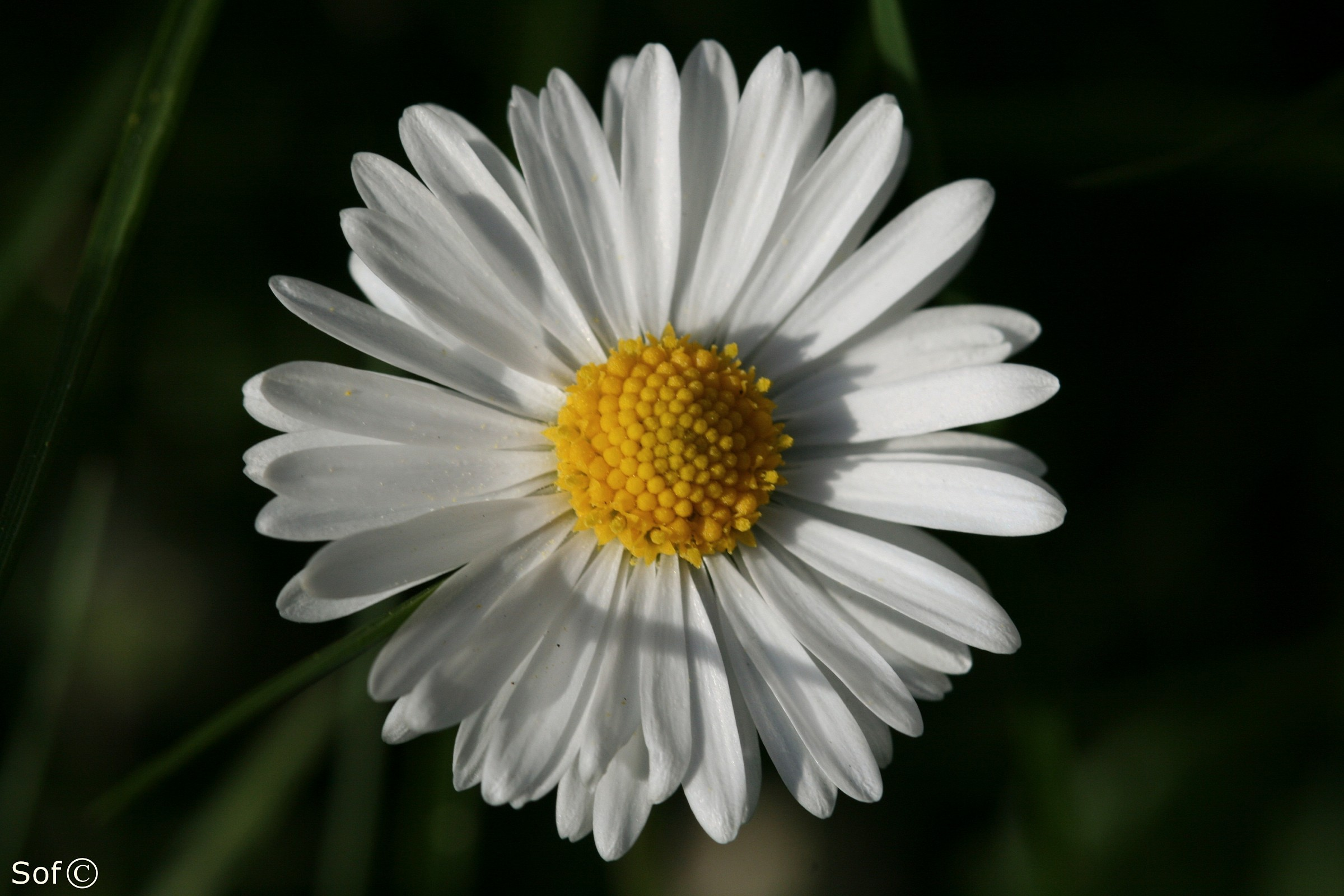 Daisy II...