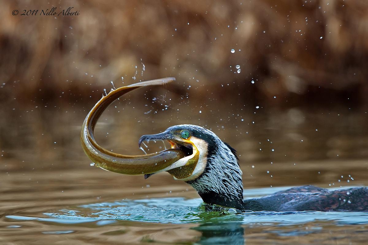 Cormorant greedy...