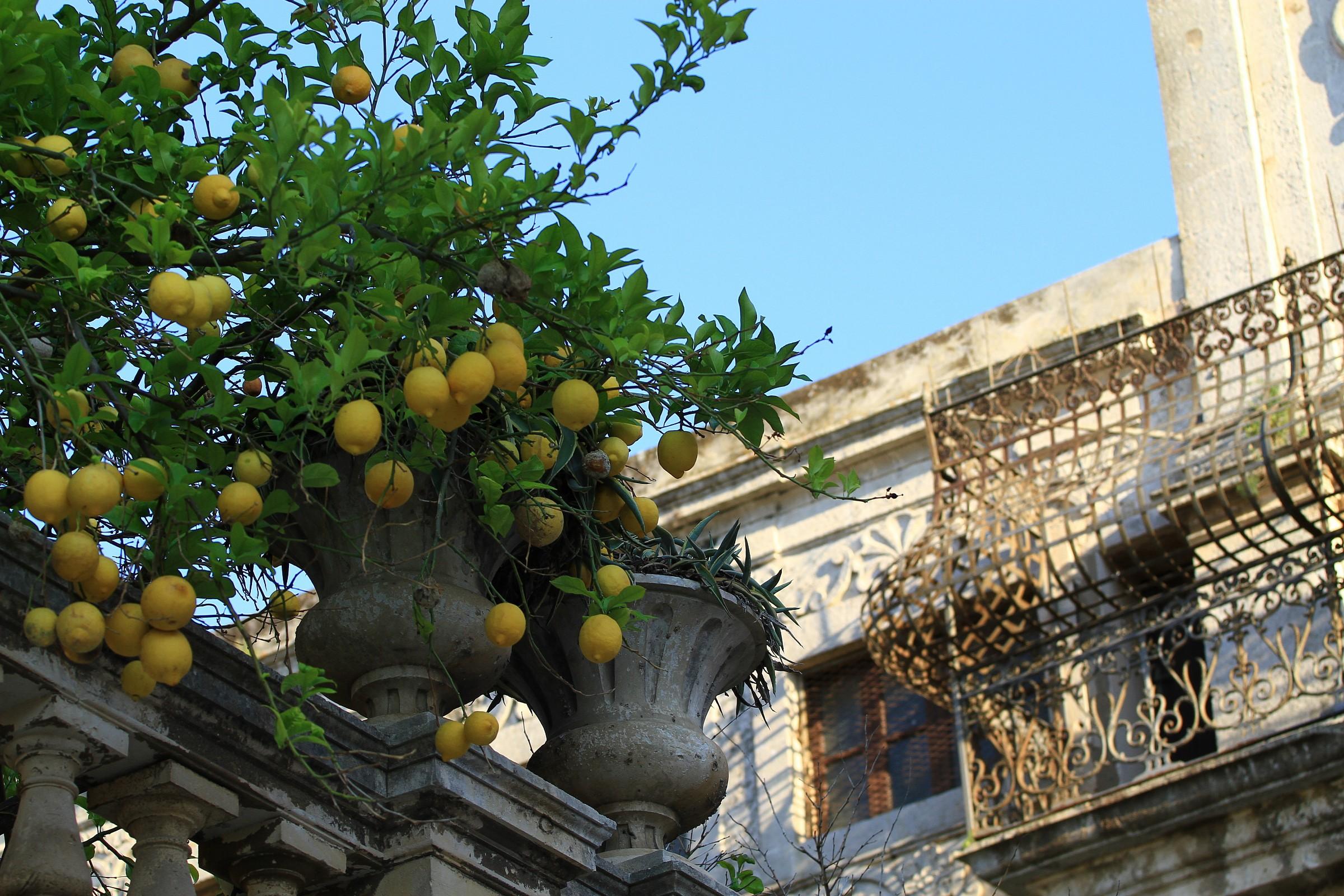 Angle of lemons...