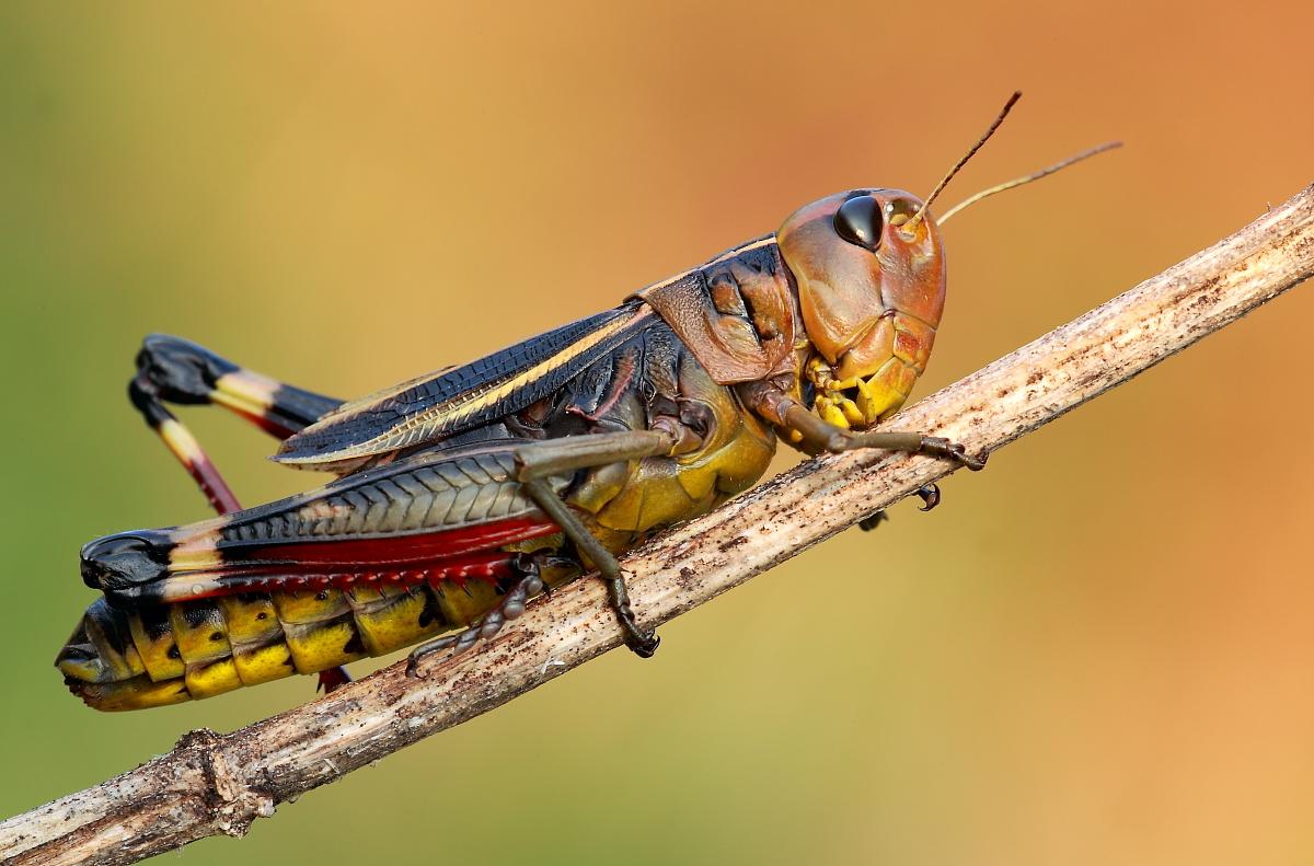 Grasshopper 1...