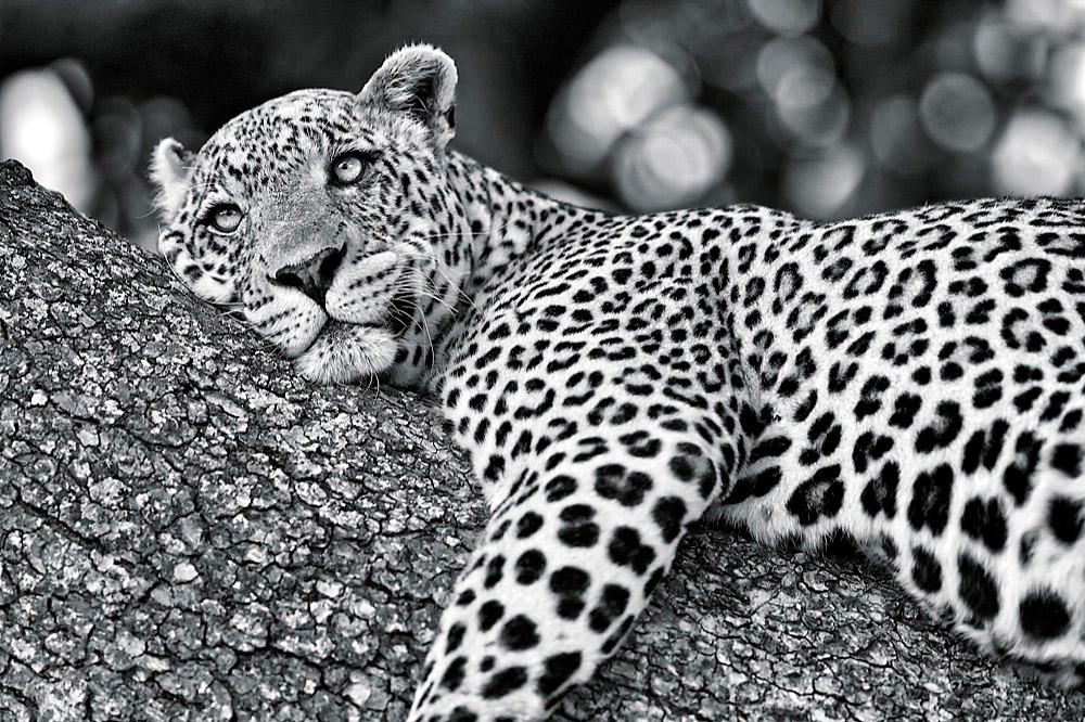 Leopard Juice...