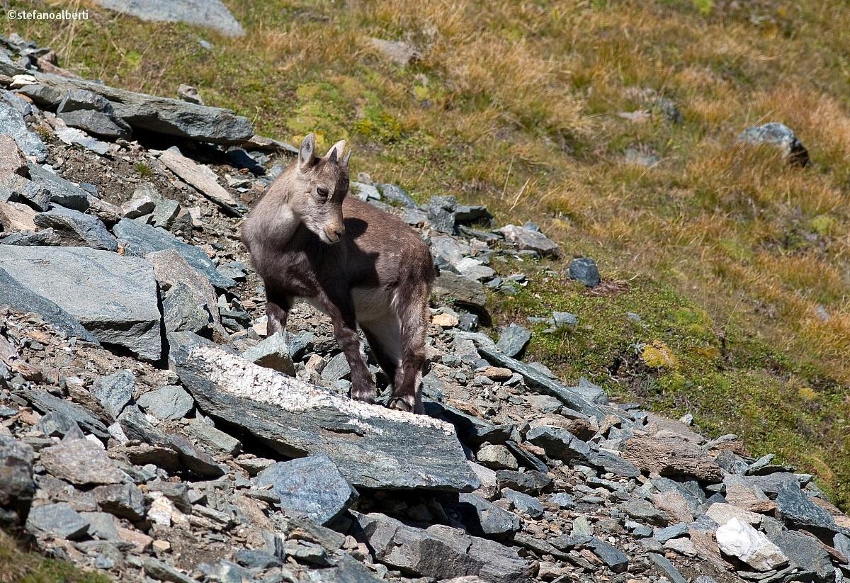 Small ibex...