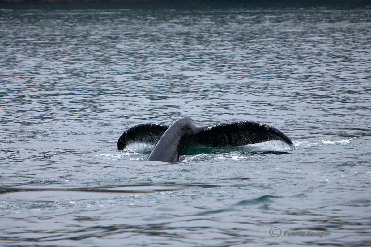Humpback Kenai Fjords, Alaska...