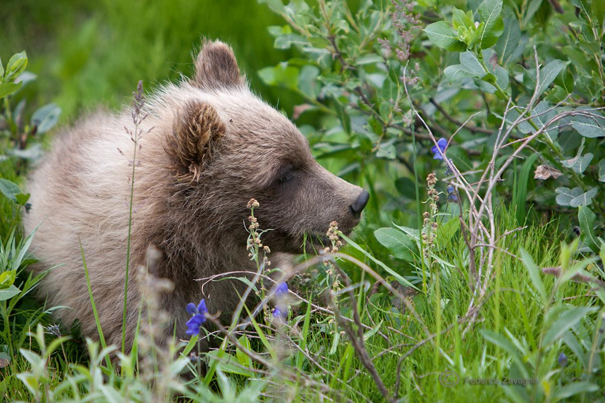 Baby Grizzly, Denali Nat. Park, Alaska...