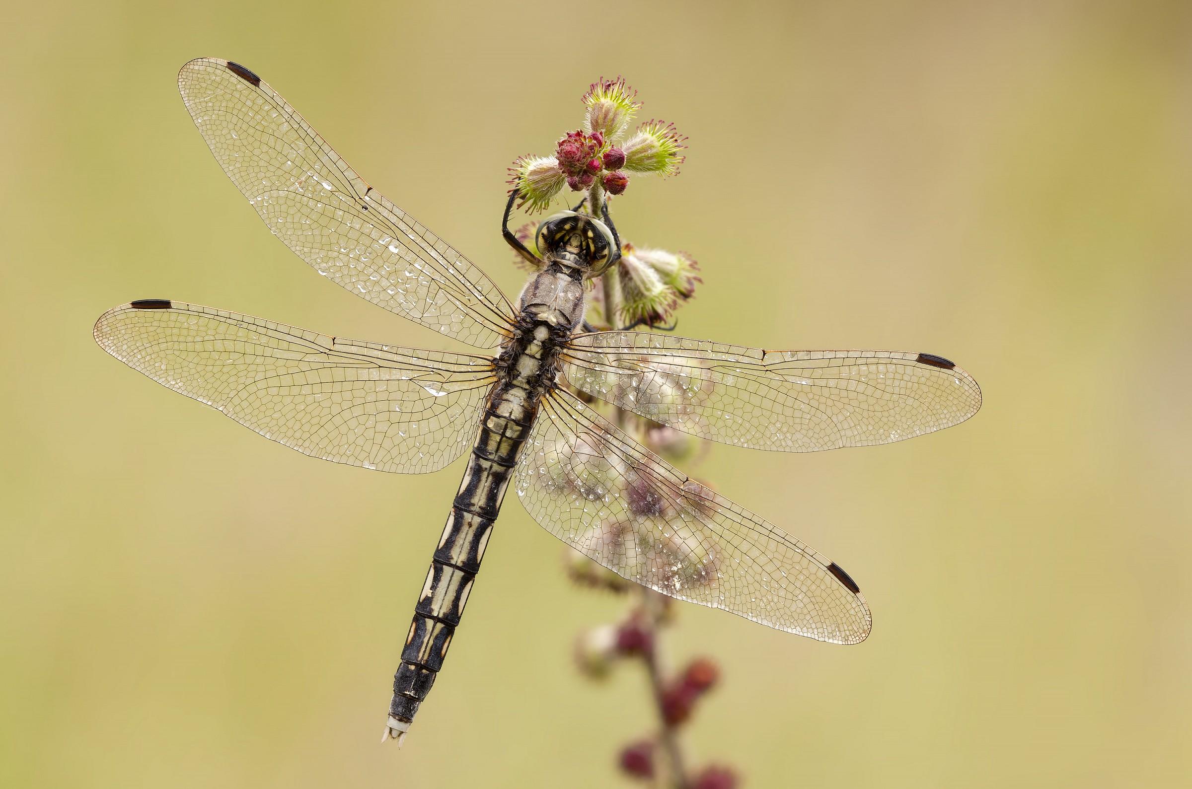 Orthetrum albistylum-(female)...
