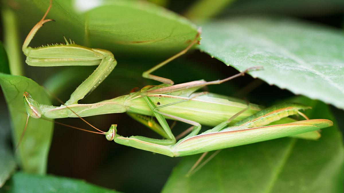 mantises...