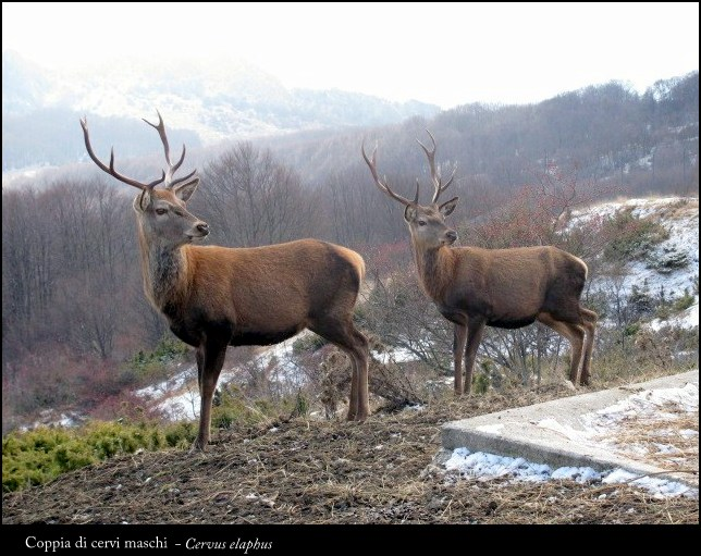 Pair of deer...