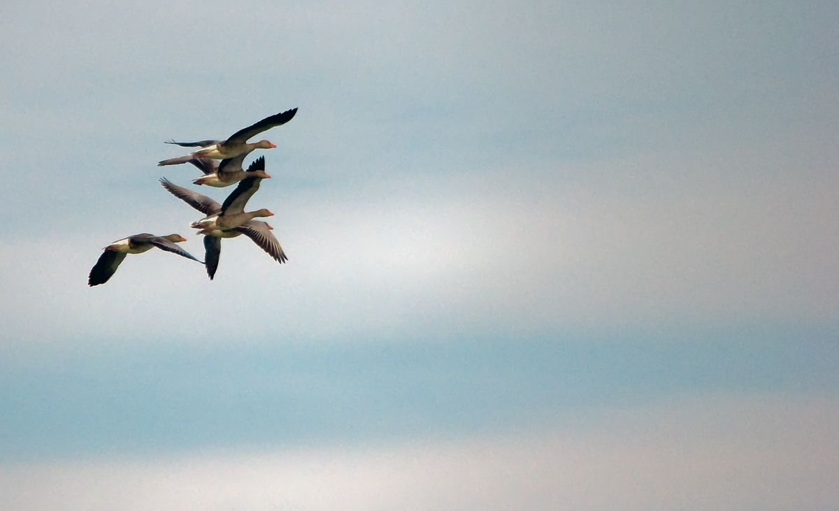 flight of geese...