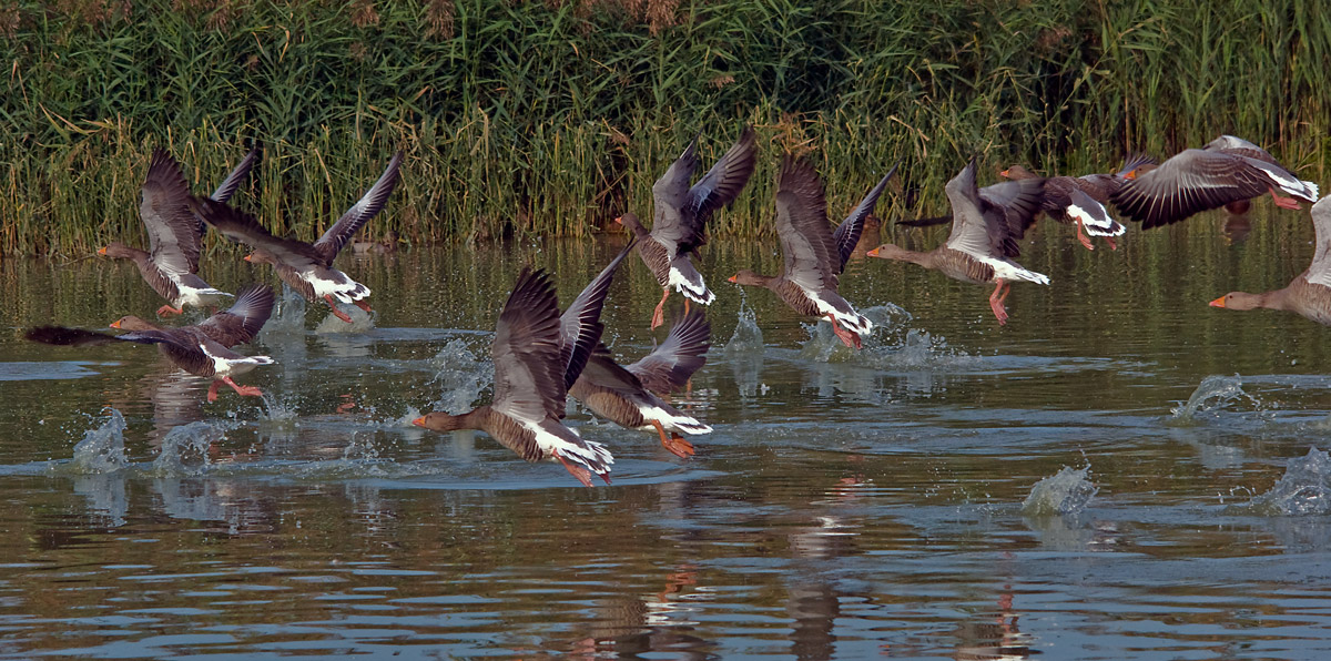 fledging of geese...