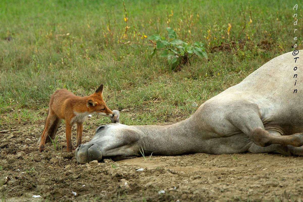 Fox camargue...