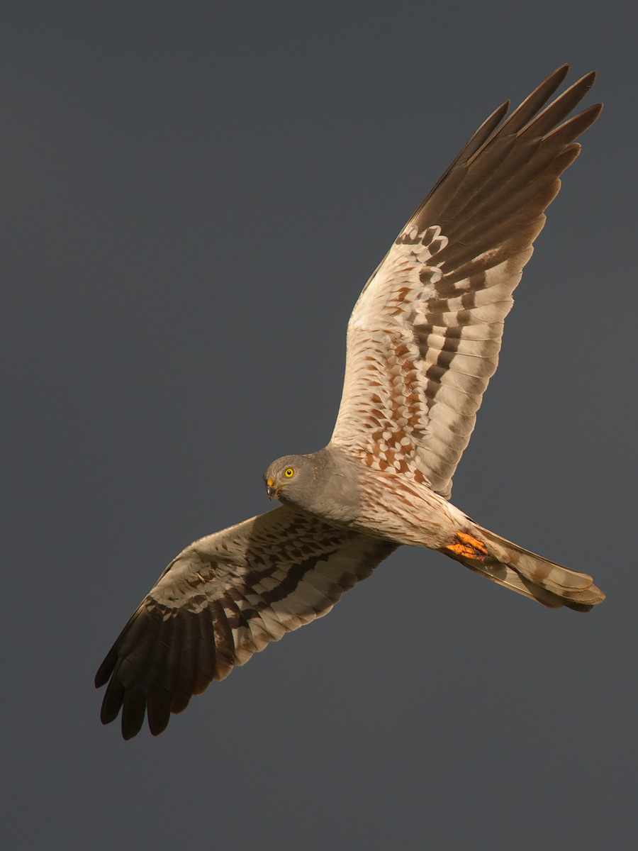 Montagu's Harrier (male)...