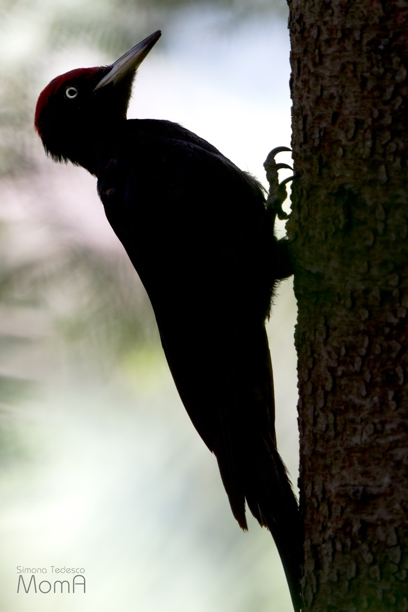 Black Woodpecker...