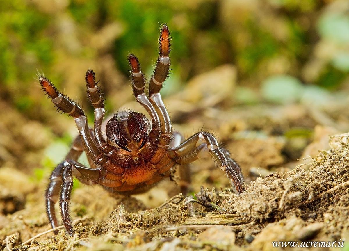 #Arachnida Cteniza sp...