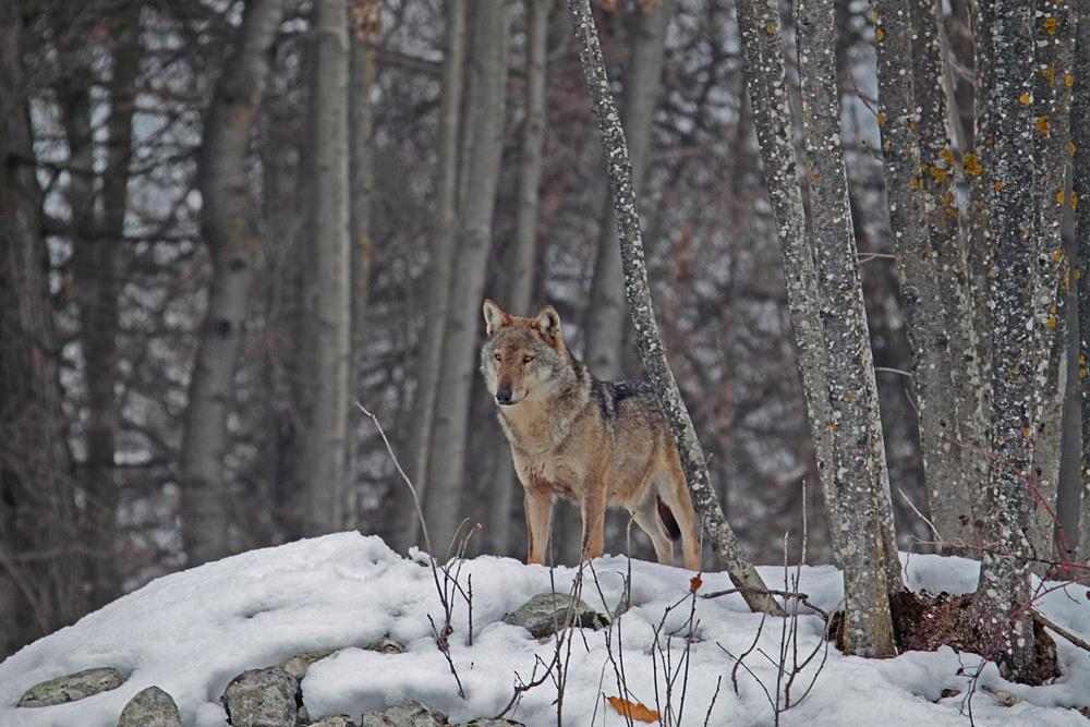 Lupo (Canis lupus)...